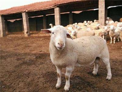 广州  【养羊】 小尾寒羊怎么样----(牧旺养殖)-养羊的利润