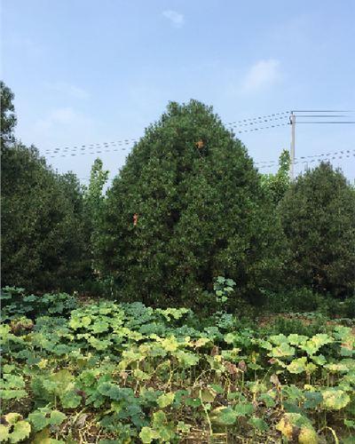 山东省泰安市高2.5米白皮松大图--泰安福顺园林