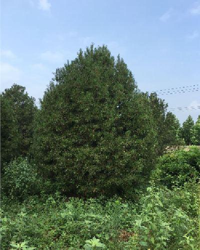 山东省泰安市高7米白皮松根系发达--福顺园林