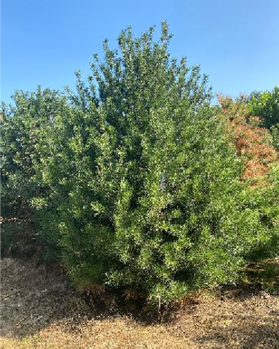 泰安4米白皮松成活率高--福顺园林
