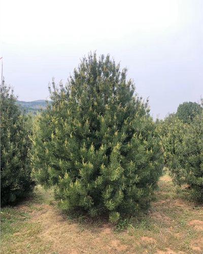 泰山区6-8公分白皮松精品--泰安福顺园林