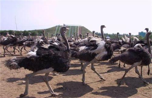 河南黑颈鸵鸟-幼崽出售