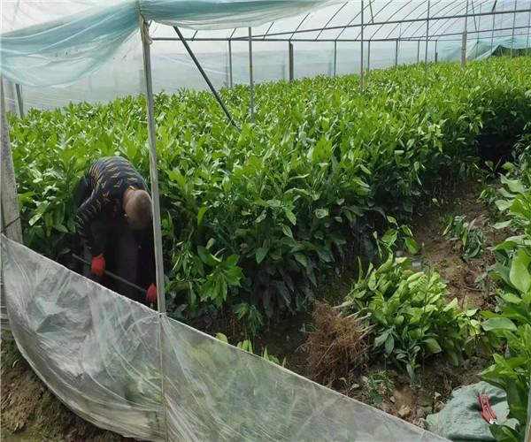 泰国红宝石青柚大苗技术管理安福