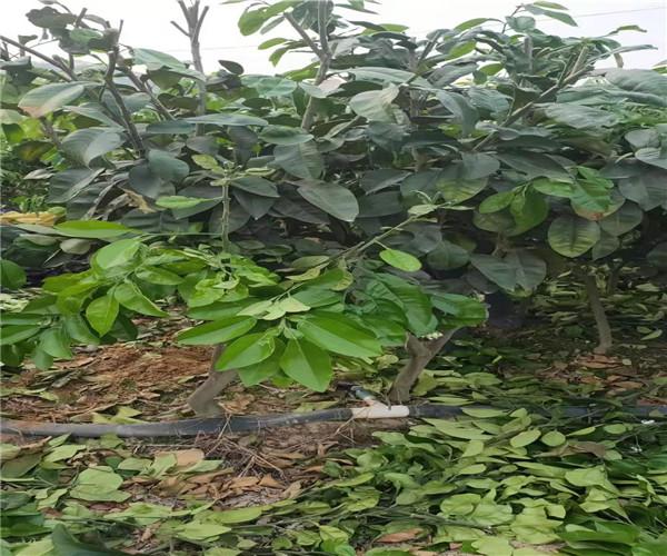 丽江宁蒗泰国青柚苗种植咨询