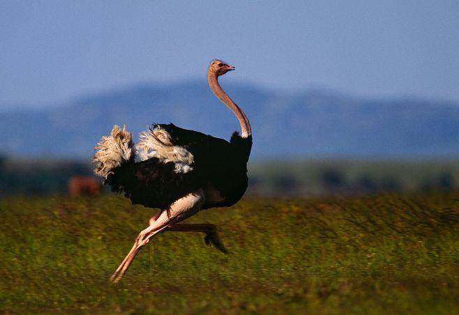 诸暨市非洲鸵鸟-骆驼哪里有卖的