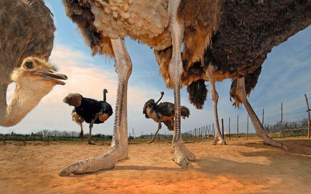 银川市灵武市非洲鸵鸟哪里有