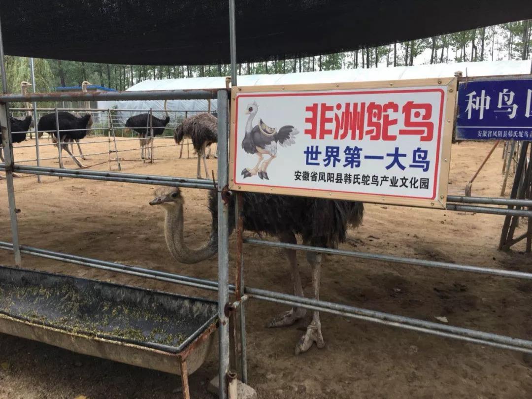 惠州非洲鸵鸟-红颈鸵鸟养殖前景怎么样