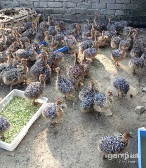 乌鲁木齐红颈鸵鸟-品种