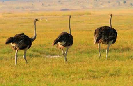阳江市阳东区非洲鸵鸟联系方式