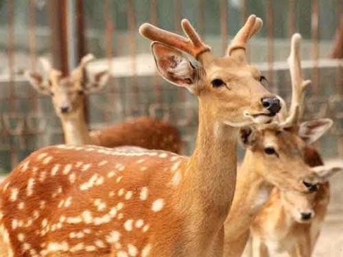 上海双阳梅花鹿-西丰梅花鹿养殖基地在哪