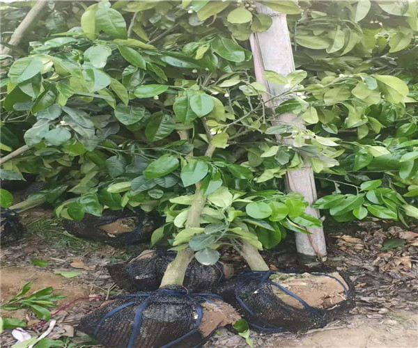 东莞东坑泰国红宝石青柚果苗批发价格