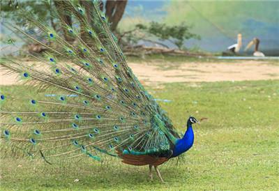 惠州种孔雀价格--厂家供应休闲山庄观赏孔雀