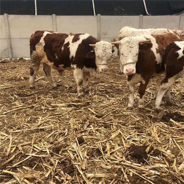 丽江1000斤西门塔尔母牛现在什么价