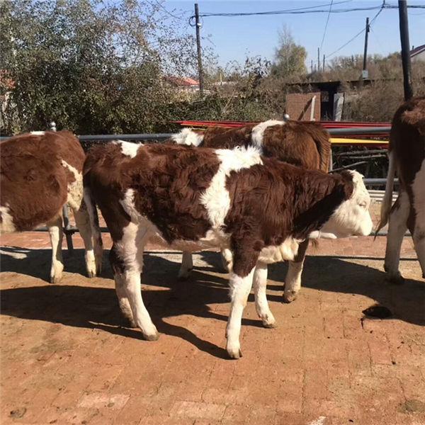 双鸭山市西门塔尔养牛基地500斤西门塔尔小牛犊现在什么价格