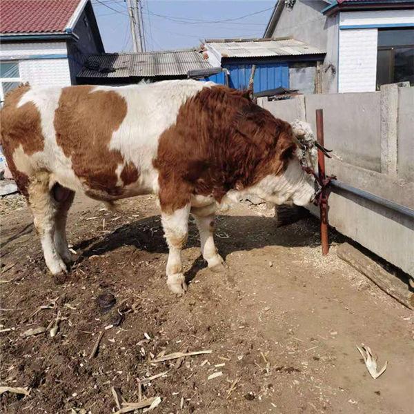 廊坊西门塔尔小牛价格300斤价格多少一头