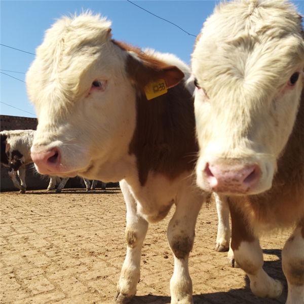 白山市800斤西门塔尔母牛多少钱一头