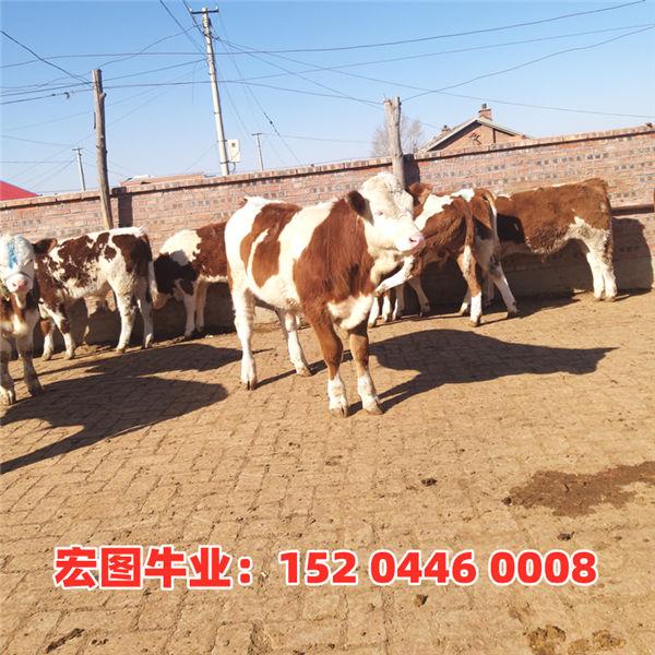 双鸭山市600斤国内西门塔尔牛犊价格