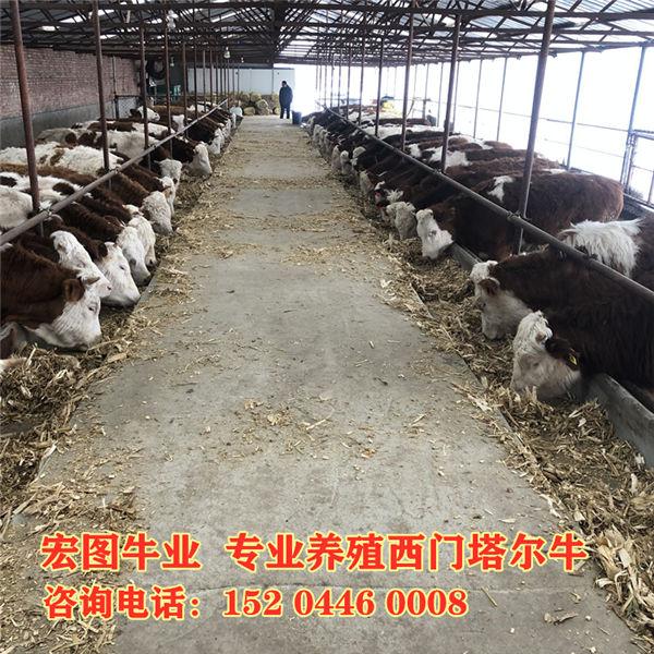 邵阳市600斤西门塔尔牛犊价格