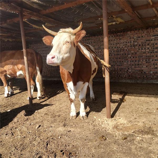 运城市300斤西门塔尔小牛犊价格
