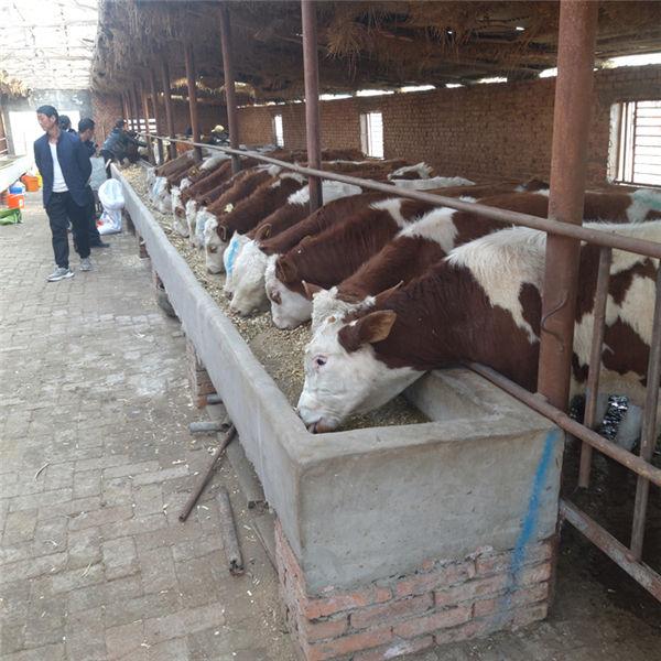 信阳市西门塔尔小母牛苗价格多少钱