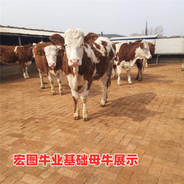 柳州市四代西门塔尔小母牛苗价格