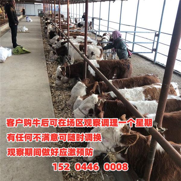 雅安市500斤西门塔尔牛小母牛价格