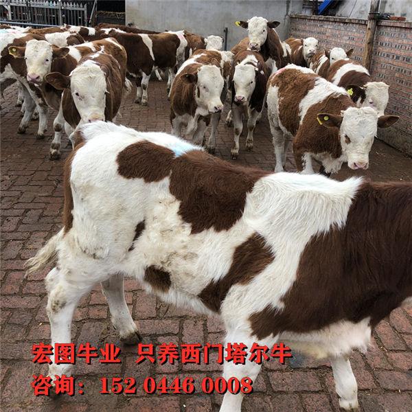 辽阳市400斤西门塔尔母牛价格