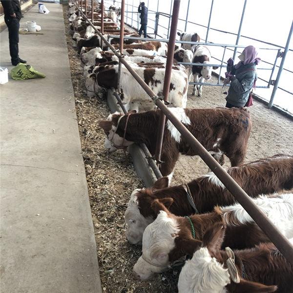 宜宾市西门塔尔怀孕母牛多少钱