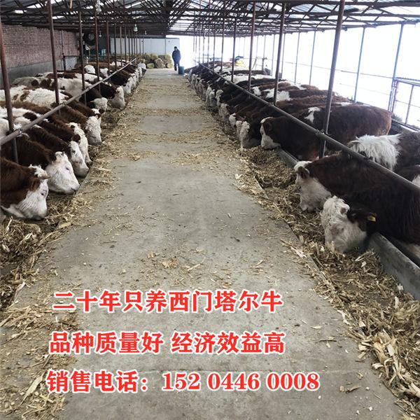 赤峰市500斤西门塔尔母牛价格