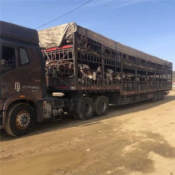 重庆市800斤西门塔尔母牛价格