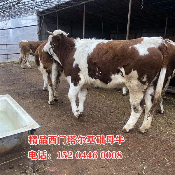 百色市400斤西门塔尔母牛价格