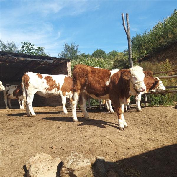 鄂尔多斯市大型西门塔尔牛养殖基地西门塔尔牛小母牛价格