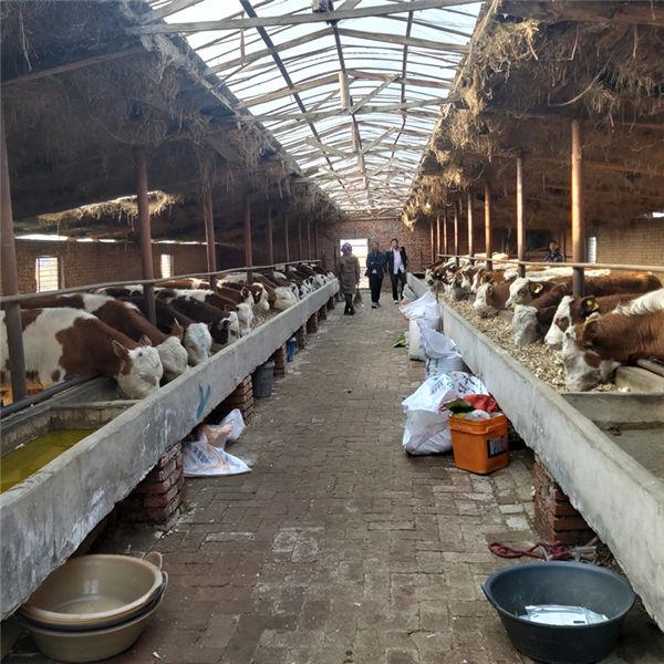 双鸭山二岁西门塔尔母牛要多少钱
