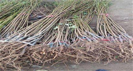长沙市李子树苗多少钱一根