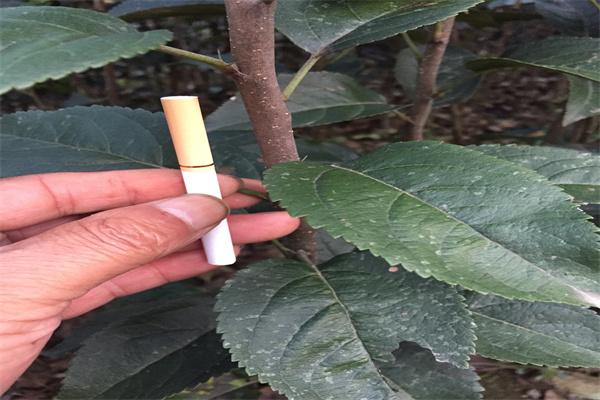 烟富0号苹果苗几年结果一方山