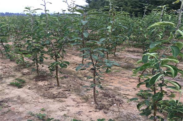 蜂糖蜜梨树苗几月份成熟一凌源