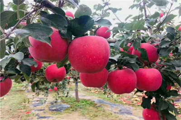 2公分苹果苗多少钱一根一繁峙
