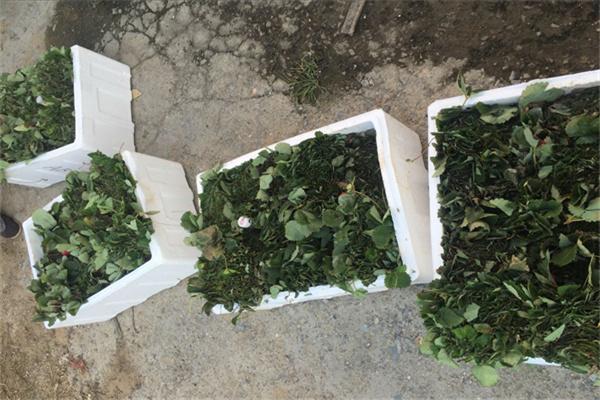 法兰地草莓苗几月份成熟一南澳