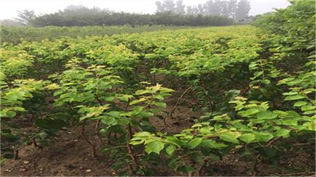2公分杏树苗一亩地产量一毕节