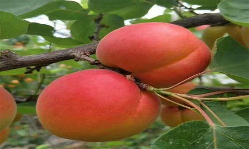 荆州市珍珠油杏树苗图片及价格