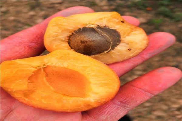 1公分荷兰香蜜杏苗直销价格-1公分荷兰香蜜杏苗报价一览表