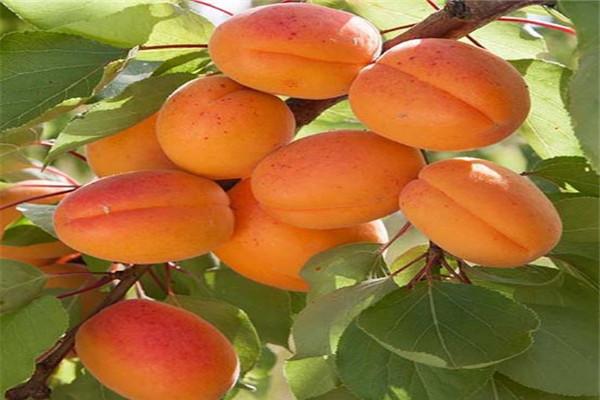2年荷兰香蜜杏苗2020年价格多少-2年荷兰香蜜杏苗报价及供应