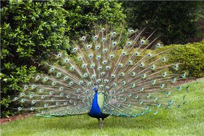 惠州花孔雀价格--厂家供应景区园林观赏孔雀