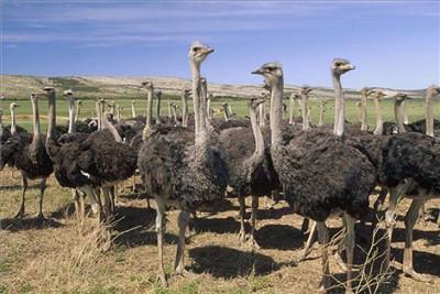 珠海鸵鸟供应_珠海种鸵鸟附养殖场