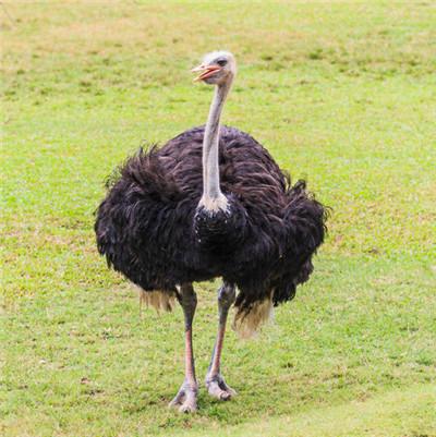兰州鸵鸟出售_兰州鸵鸟苗养殖