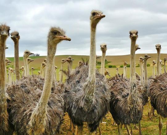 山东鸵鸟价格合作养殖,运输