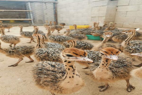 四川绵阳鸵鸟养殖场一只也发货,运输