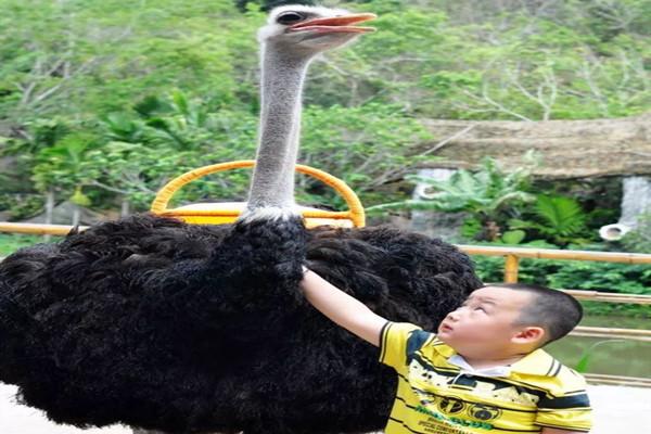 云南西双版纳鸵鸟养殖基地合作养殖,运输
