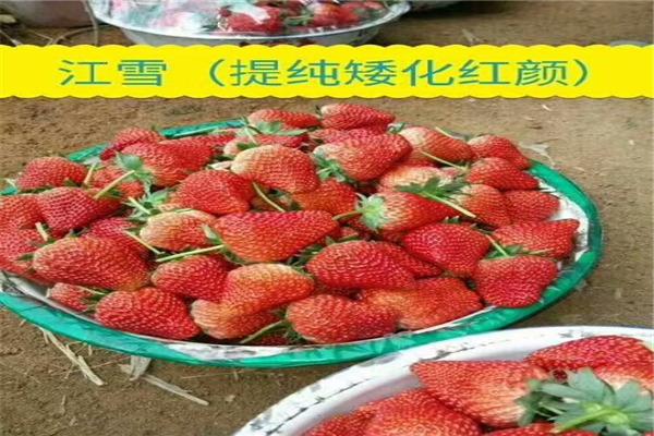 脱毒红颜草莓苗本周价格-海西