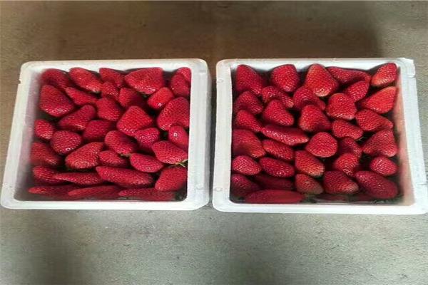 穴盘红颜草莓苗特性-信阳